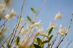 Beautiful white orchid flowers  blue sky in Phuket Thailand Stock Images