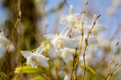 Beautiful white orchid flowers  blue sky in Phuket Thailand Royalty Free Stock Photos