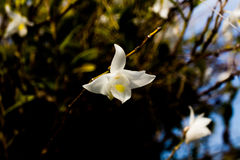 White orchid flowers in the blue sky in Phuket Thailand Royalty Free Stock Photography