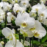 Beautiful white orchid flowers in the greenhouse royalty free stock photography