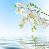 Beautiful white orchid flowers reflected in water. Postcard. Beautiful white orchid flowers reflected in water on blue background Stock Image