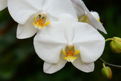 Beautiful white orchid flowers Royalty Free Stock Photos