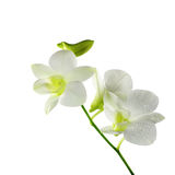 Beautiful white orchid flowers  on a white background Royalty Free Stock Photo