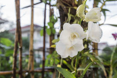 Beautiful white orchid. At home garden Royalty Free Stock Photo