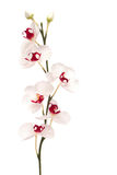 Beautiful white orchid isolated on white Royalty Free Stock Photography