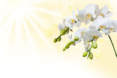 Beautiful white orchid Stock Photos