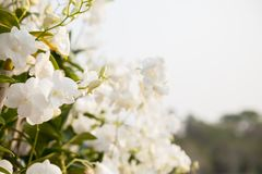 Beautiful white orchid in public park Royalty Free Stock Image