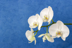 Beautiful white orchid - phalaenopsis Royalty Free Stock Photography