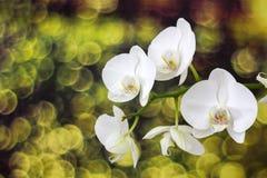 Beautiful white orchid - phalaenopsis Stock Images