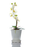 Beautiful white orchid in a pot Stock Photography