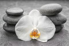 Beautiful white orchid with stones. On grey background Stock Photos