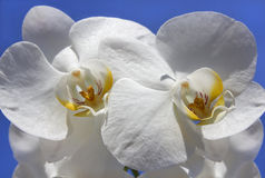 Beautiful white orchid with unusual core Stock Image