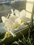 White orchid on the window stock photos
