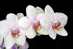 Beautiful White Orchids on Black Background Stock Images