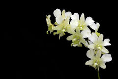 Beautiful White Orchids on Black Background Royalty Free Stock Photography