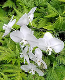 Beautiful White Orchids Among Bright Green Ferns. This is a picture of some beautiful white orchids among some vibrant green ferns in Papikou, Hawaii Stock Images