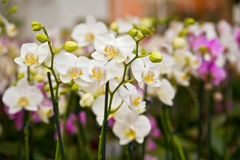 Beautiful white orchids flowers Stock Photography