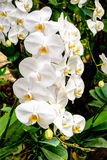Beautiful white orchids Stock Photos