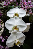 Beautiful white orchids in a garden. royalty free stock image