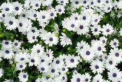 Beautiful white osteospermum Royalty Free Stock Photo