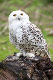 Beautiful white owl Royalty Free Stock Photos