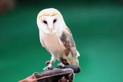 Beautiful white owl Stock Photos