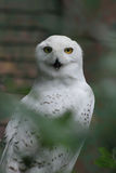 A beautiful white owl Royalty Free Stock Photos