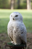 Beautiful white owl - Snowy owl, Nyctea scandiaca Stock Image