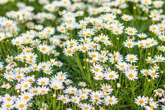 Beautiful white ox-eye daisy flowers (Leucanthemum vulgare) on flowerbed. Leucanthemum vulgare, the ox-eye daisy, or oxeye daisy,. Is a widespread flowering royalty free stock image