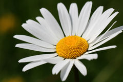 Beautiful White Oxeye Daisy Stock Image