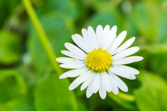 Beautiful White Oxeye Daisy. A Beautiful White Oxeye Daisy Standing Against a Green Backdrop Royalty Free Stock Photos