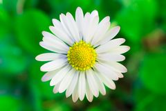 Beautiful White Oxeye Daisy. A Beautiful White Oxeye Daisy Standing Against a Green Backdrop Stock Image