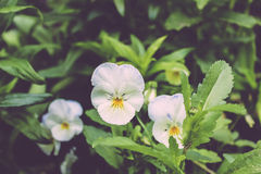 Beautiful white pansies Stock Image