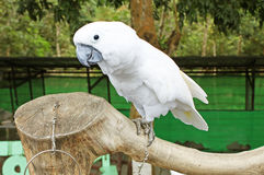 Beautiful white parrot ara Stock Images