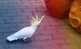 Beautiful white parrot cockatoo photographed close a royalty free stock images