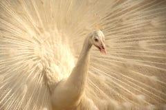 Beautiful white peacock . Stock Photo