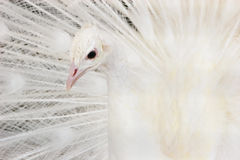 Beautiful white peacock Royalty Free Stock Image