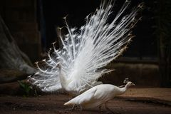 Beautiful white peacock opened shows tail stock image