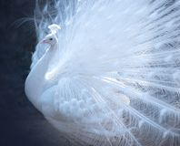 Beautiful white peacock with spreaded tail Stock Photos