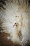 Beautiful white peafowl with feathers out. White male peacock wi Stock Photos