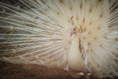 Beautiful white peafowl with feathers out. White male peacock wi Royalty Free Stock Images
