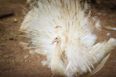 Beautiful white peafowl with feathers out. White male peacock wi Stock Images