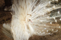 Beautiful white peafowl with feathers out. White male peacock wi Stock Image