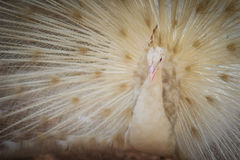 Beautiful white peafowl with feathers out. White male peacock wi Royalty Free Stock Photo