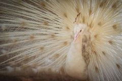 Beautiful white peafowl with feathers out. White male peacock wi Royalty Free Stock Photography