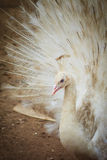 Beautiful white peafowl with feathers out. White male peacock wi Royalty Free Stock Photos