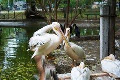 Beautiful white pelicans Stock Photos