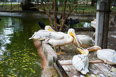 Beautiful white pelicans Royalty Free Stock Photos