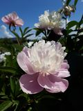 Beautiful white peonies in the garden royalty free stock photos