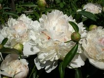 White peonies glowing in the sun stock photos